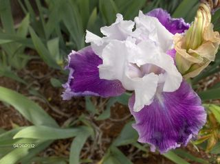 Frilly Two-toned Iris