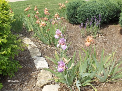 Irises & Transplanted Sage