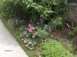 Blanket Roses