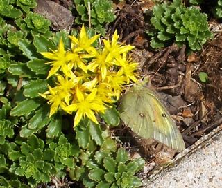 Yellow Butterfly 2012May2