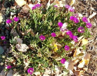 Brilliant Ice Plant 2011Oct19