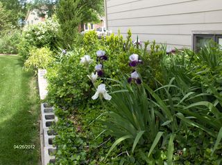 Irises in Side Yard