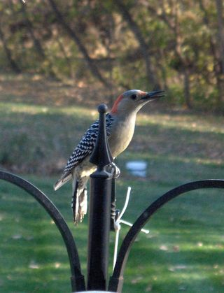 Lady Red-bellied Woodpecker