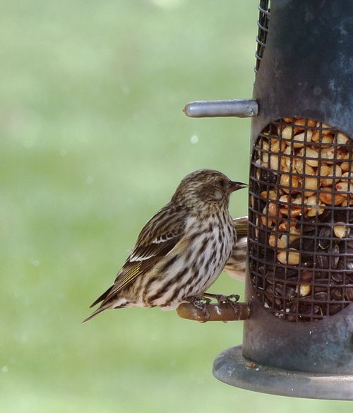 Female Pine Siskin