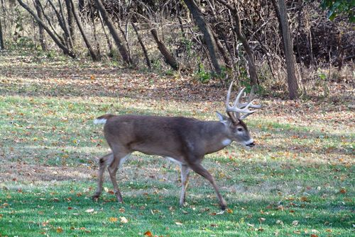 Buck White-tailed Deer