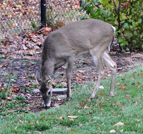 Antlered Deer 1