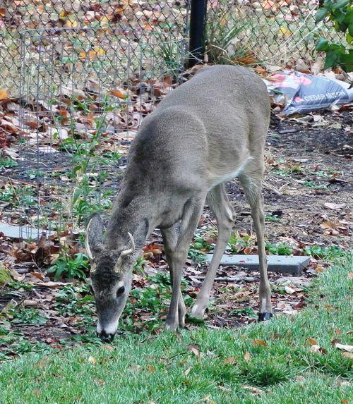 Antlered Deer 2