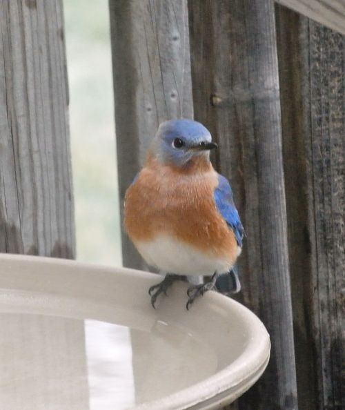 Gentleman Eastern Bluebird 1