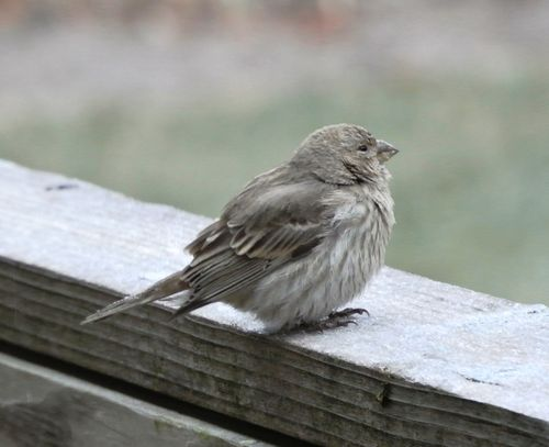 Lady House Finch 1