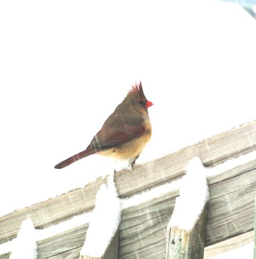 2014Feb4 Ms Spike Cardinal in Snow 1