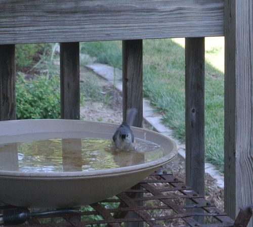 Titmouse Bathing 2015Aug