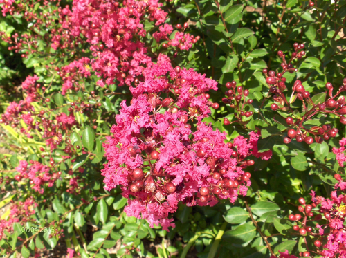 Dwarf Victor Crapemyrtle (Lagerstroemia Indicia) 2016Jul4