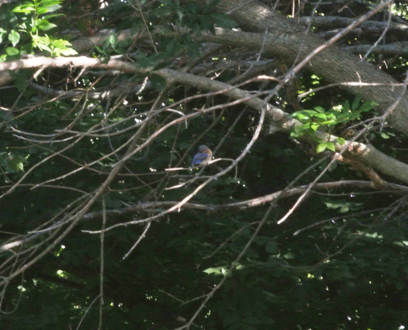 Baby Bluebird Drying in the Woods