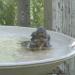 Bathing Baby Bluebird - 2