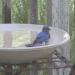 Bathing Baby Bluebird - Alone Again