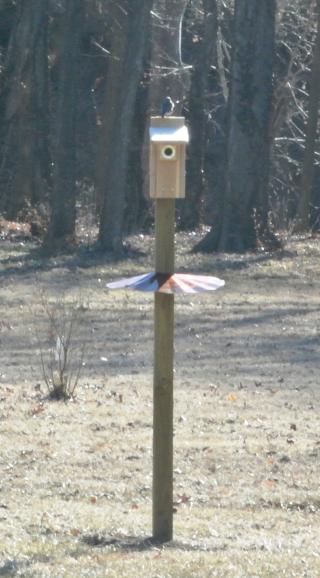 Bluebird at house 2
