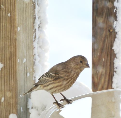 Lady House Finch at Her Bath 2014Mar