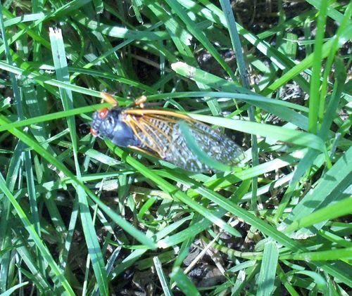 Periodic Cicada 1