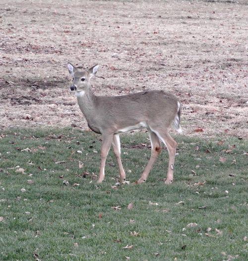 Deer - 9