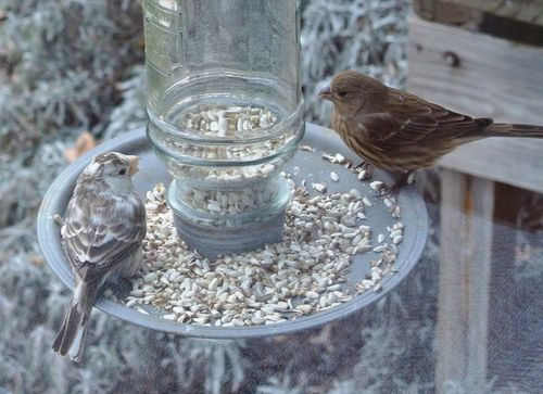 Leucastic Bird & House Finch 2014Dec30 #2