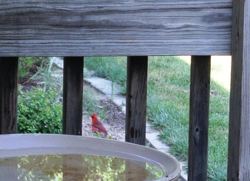 No Bath for Mr Cardinal 2015Aug