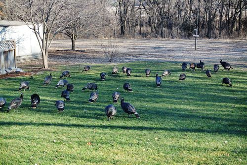 34 of 54 Wild Turkey
