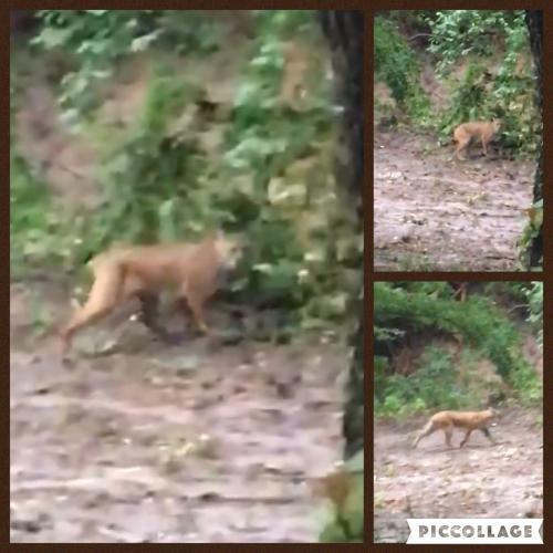 Bobcat 2016Jun18