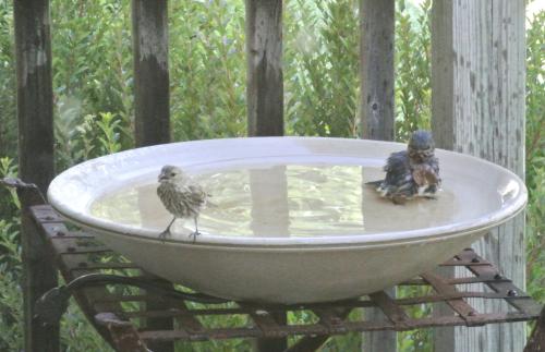 Bathing Babies House Finch & Bluebird - 1