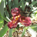 First Iris Blooms 2017Apr15 - Dwarf - Detail