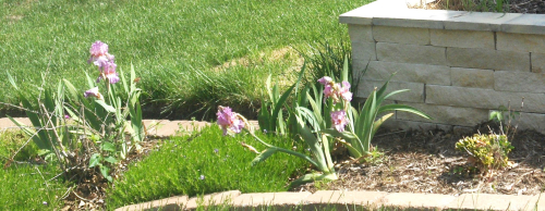 Surviving patch of irises between houses
