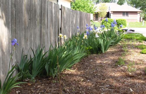 Full bloom irises along Fred's fence - 2