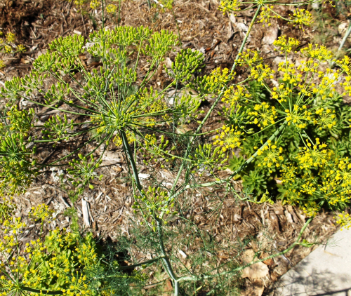 Lacy heads of dill weed