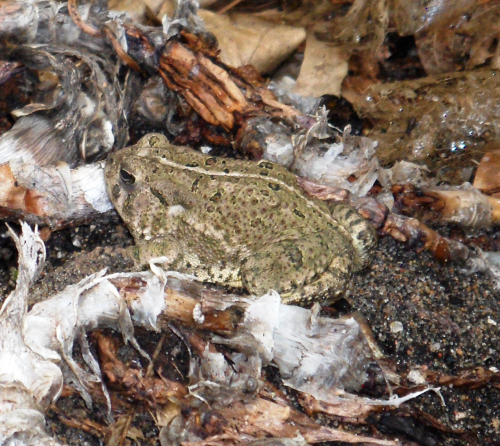 Mottled Critter - a toad