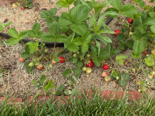 Strawberries 5-14-2008