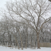 Cottonwood Tree & The Silent Woods