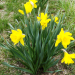 Daffodils after Freeze 2