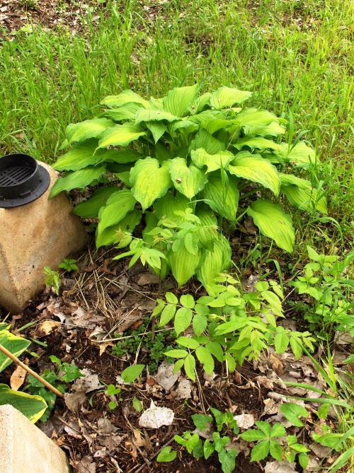 Two Walnuts and a Hosta by Cat Graves - with Drain Cap