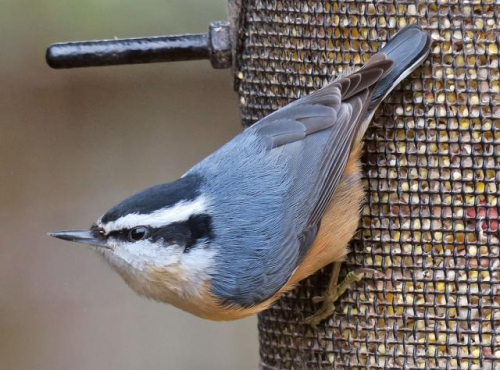 07_-_red-breasted_nuthatch_feeder_gorgeous