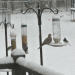 Mourning Dove with Slate-Colored Juncos