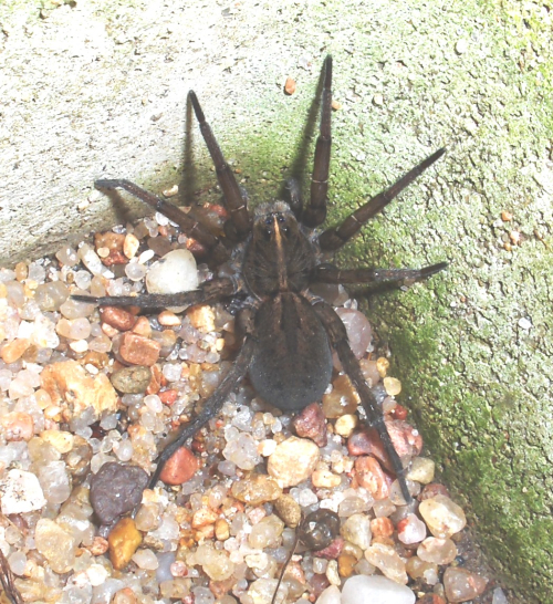 Brown furry spider 2019Oct6