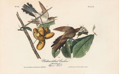 Audubon's Yellow-billed Cuckoo