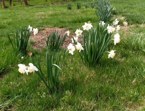 Daffodils - 3