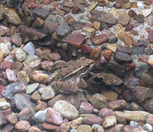 Amphibian Friend - first sighting 2019 - 2019Aug23