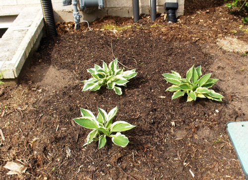 New Hostas replace Yews - Outside Escape Window