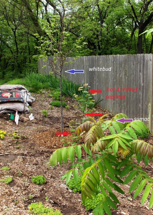 Lineup of Redbud Saplings & Whitebud Tree - labeled