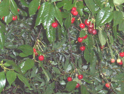 Cherries still on tree after picking party - 2019Jun9
