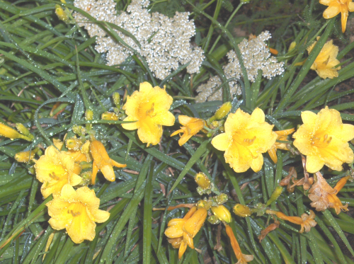 Daylilies & Queen Anne's Lace - 2019Jun9