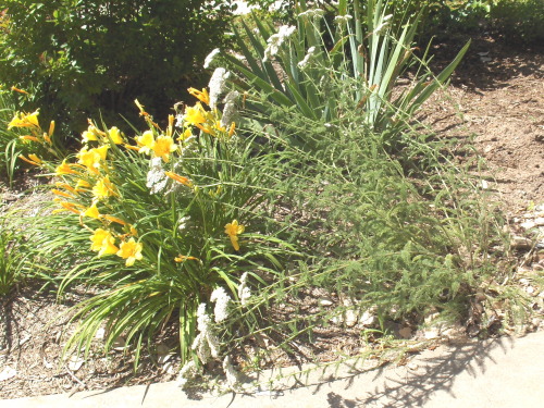 Daylilies & Queen Anne's Lace - 2019Jun12