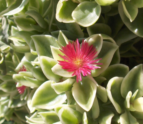 Flora - Ice Plant in Basket (closeup) - 2019Aug4