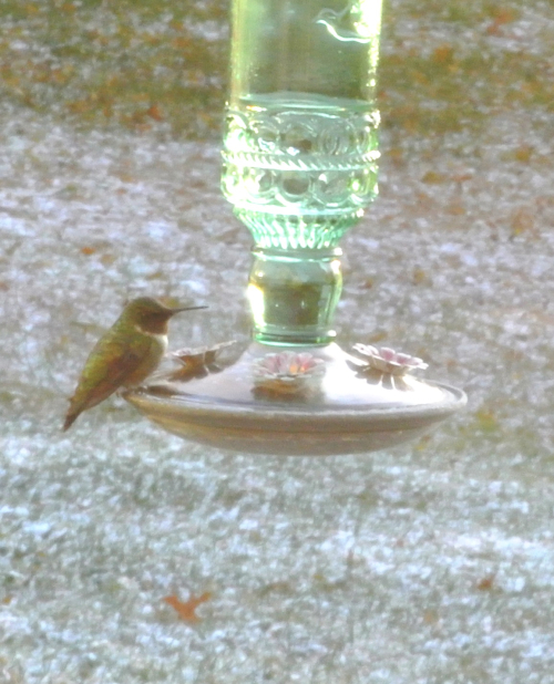 Male Ruby-Throated Hummer at 20 degrees - 2019Oct31
